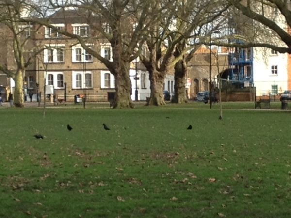 Jackdaws in London Fields